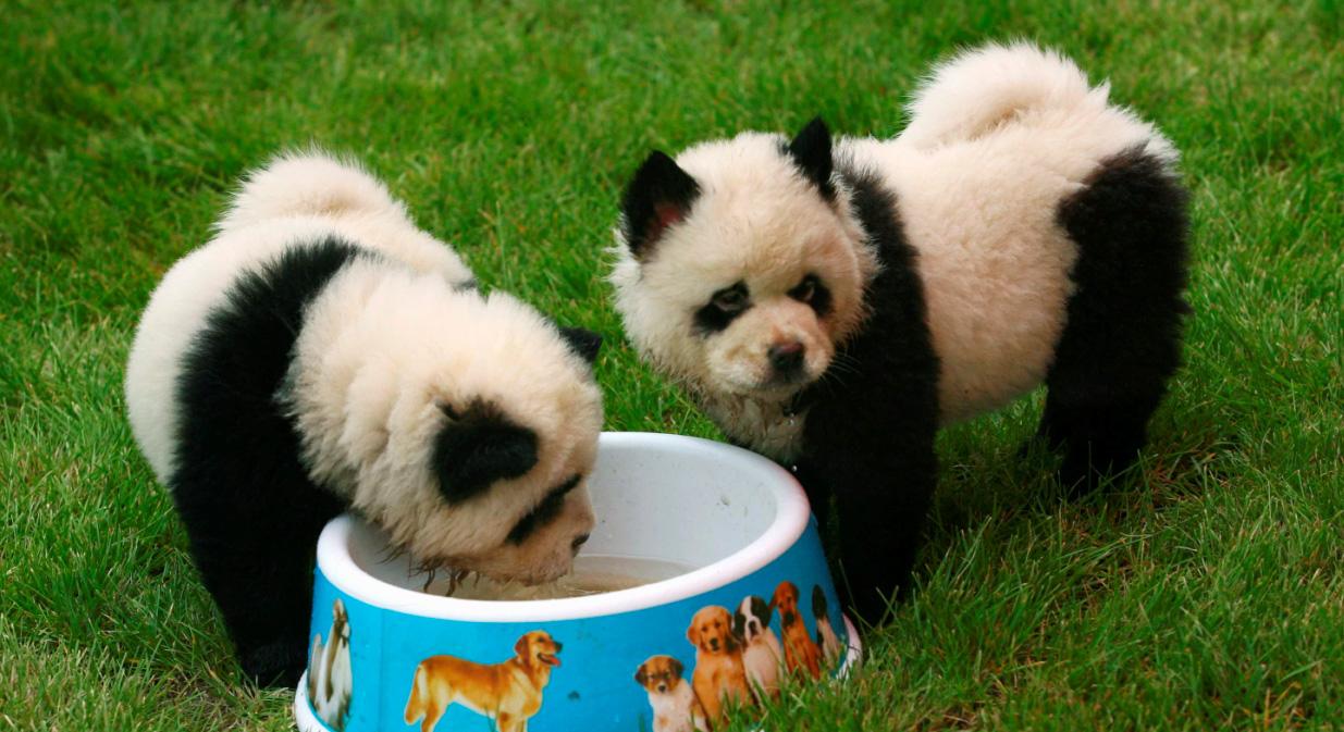 Dog Looks Like Panda Bear Chow | Dog Breeds Picture